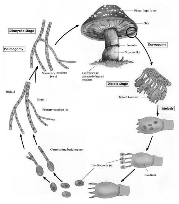 691952730-life-cylce-mushroom.thumb.jpg.14052805f9c75db3bf2b3d0c2cbda565.jpg