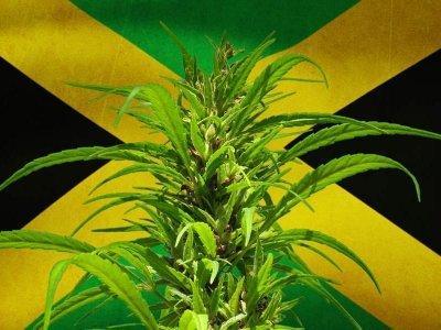 cannabis-online-jamaica.jpg
