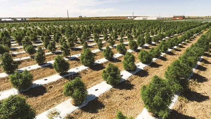 cannabis-grow-outdoor-usa(1).jpg