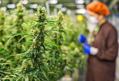 cannabis-nmh.jpg