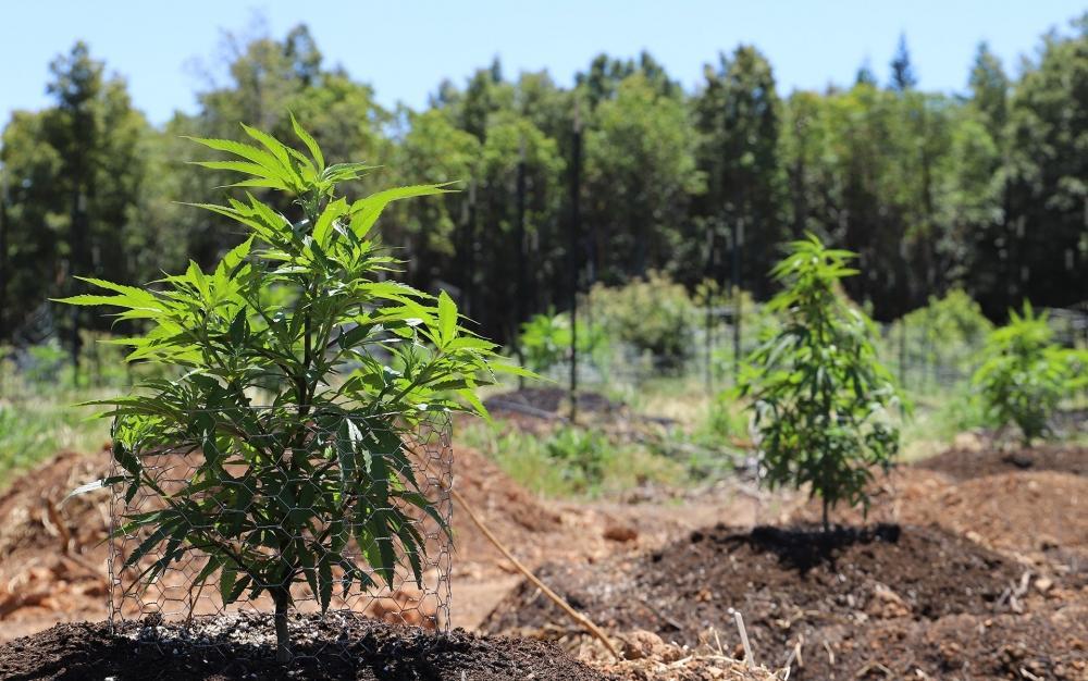 cannabis-grow-outdoor-canada.jpg