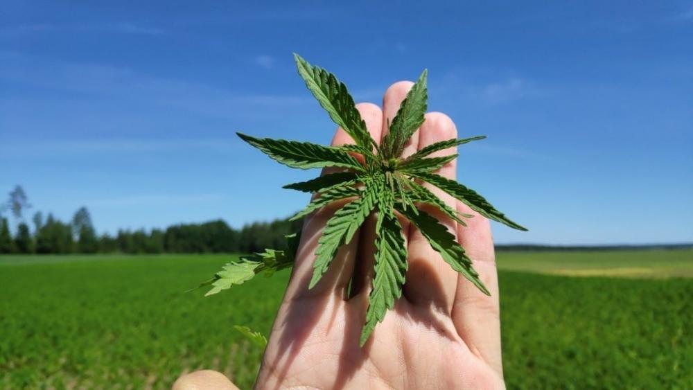 hemp-plant-bashkiriya.jpg
