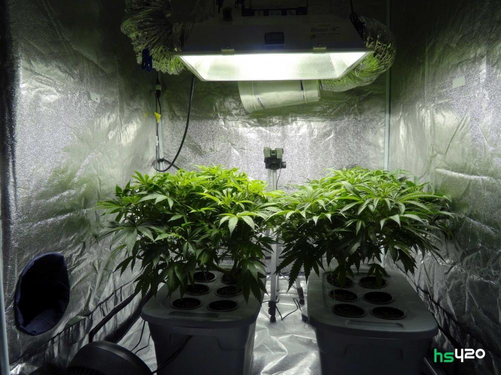 cannabis-grow-2.jpg