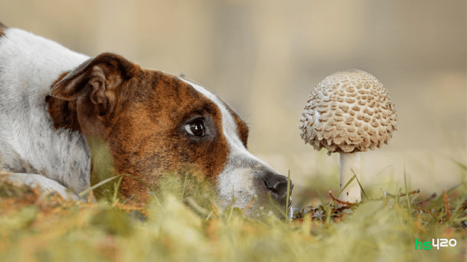 dogs-psilocybin-mushrooms-2.png