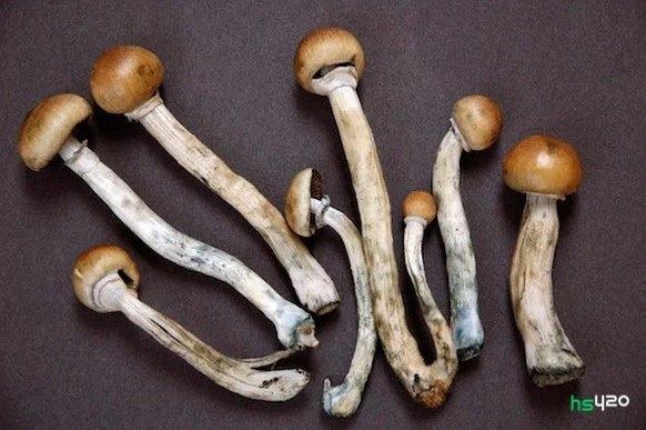 psilocybin-mushrooms-michigan-2.jpg